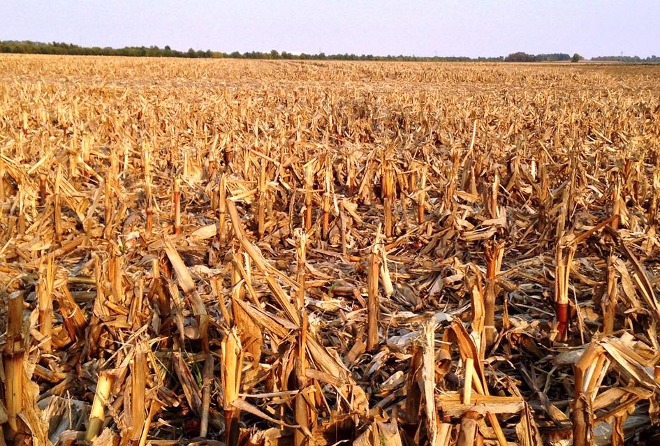 Los residuos de la cosecha de maiz son fuente de producción de etanol. Crédito: Keith Robinson/ Universidad de Purdue.